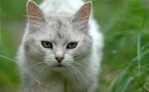Окрасы кошек Сомали