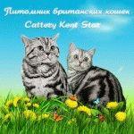 Питомник британских кошек «Kent Start»