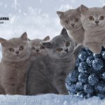 Питомник британских кошек «Luxury Cats Of Hanna»