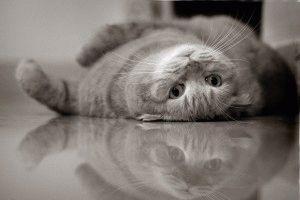 Порода вислоухих кошек фото