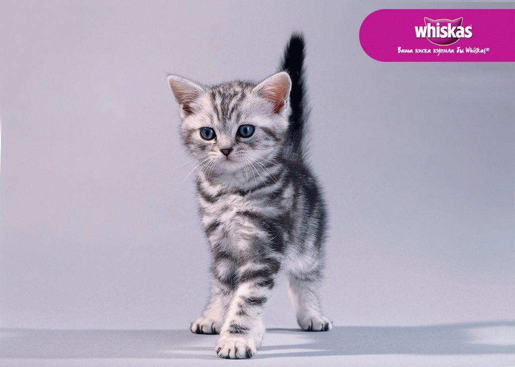 Плюшевый котёнок из рекламы вискас обаятельный телеперсонаж. Сотни детей кричат: «хочу такого! », а их родители судорожно ищут в интернете, что это за порода.