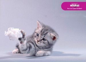 Порода котёнка из рекламы Вискас
