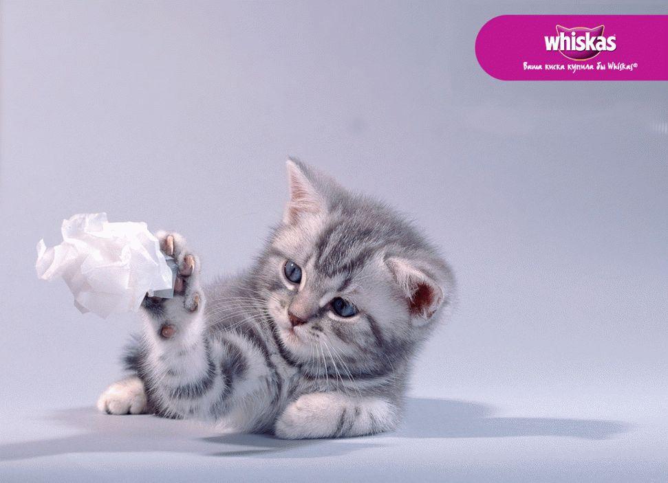 Почему кота нельзя кормить вискасом
