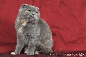 Порода кошки шотландская вислоухая фото