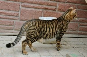 Породы кошек тигрового окраса - Тойгер