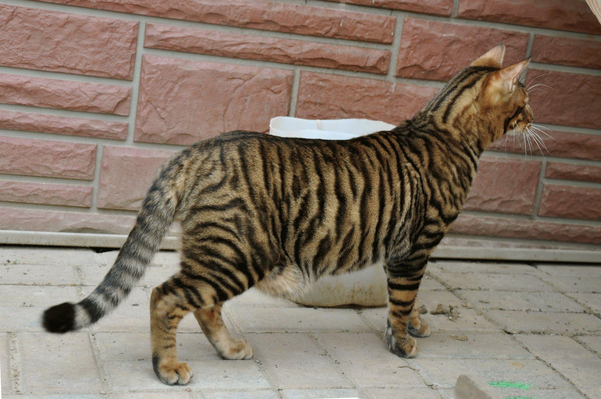 Породы тигровых котов
