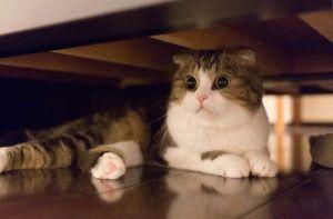 Прикольное фото вислоухого кота