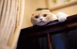 Смешное фото вислоухого кота