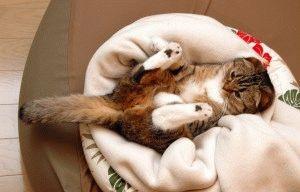 Смешное фото вислоухой кошки