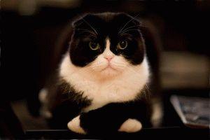 Смешное фото шотландской вислоухой кошки