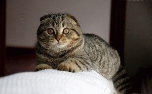Смешной шотландский вислоухий кот фото