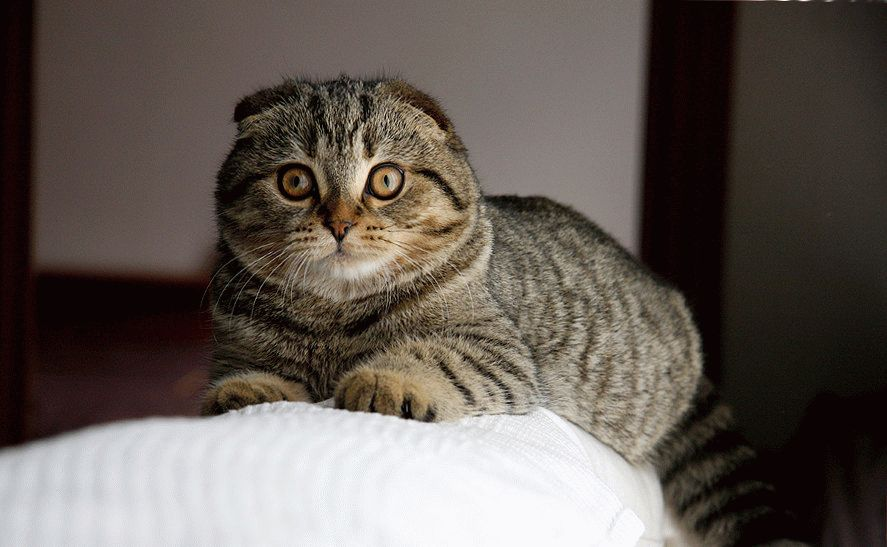 удары взрослая вислоухая кошка фото держала только любовь