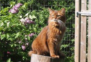 Сомалийская порода кошек фото