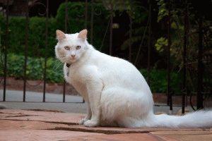 Турецкая ангора белая кошка
