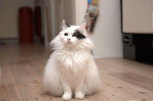 Турецкая ангора фото белой кошки