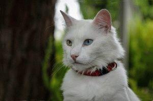 Фото белой турецкой ангоры