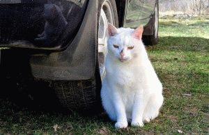 Фото белых котов 2