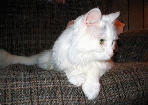 Фото белых кошек