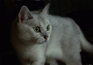Фото британская шиншилла кошка