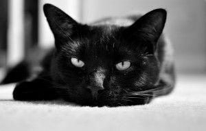 Фото британской черной кошки