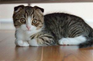 Фото вислоухого котёнка