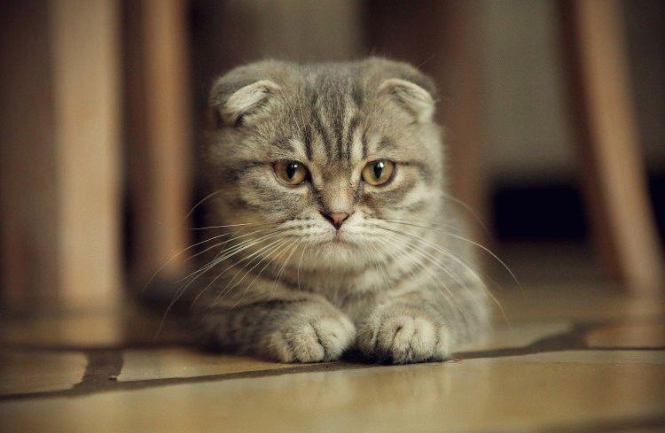 Когда и как свести вислоухую кошку с вислоухим котом