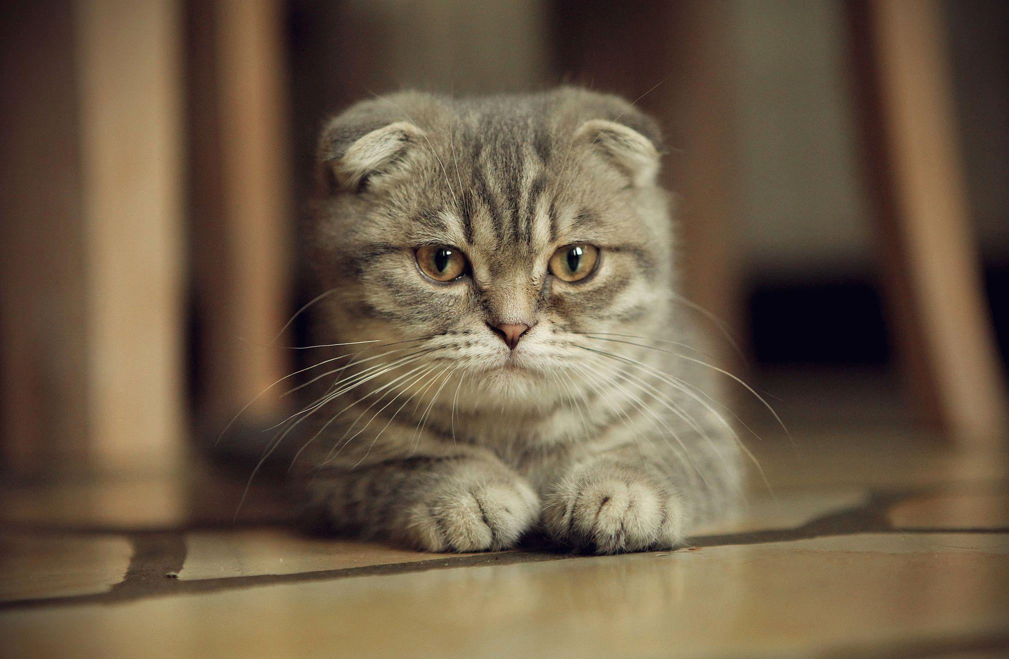 кошка вислоушка картинки есть ночные