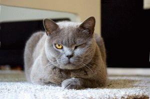 Фото голубого британского кота
