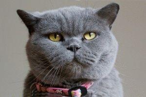 Фото голубой британской кошки