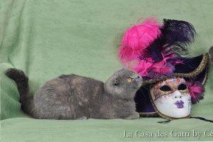 Фото голубой вислоухой кошки