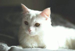 Фото кота белого окраса