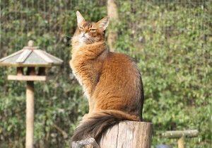 Фото кота сомалийской породы