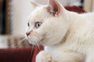 Фото котов белых пород
