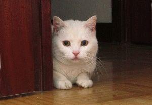 Фото кошки белой породы