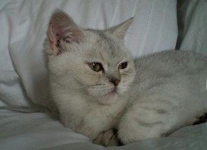 Фото кошки британская шиншилла
