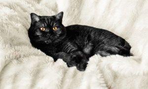 Фото черной британской кошки