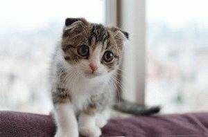 Фото шотландский вислоухий котенок