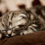 Фото шотландского вислоухого котёнка