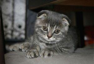 Фото шотландской вислоухой кошки