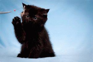 Черная британская кошка фото