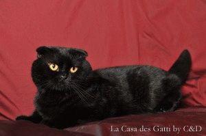 Черная вислоухая кошка фото