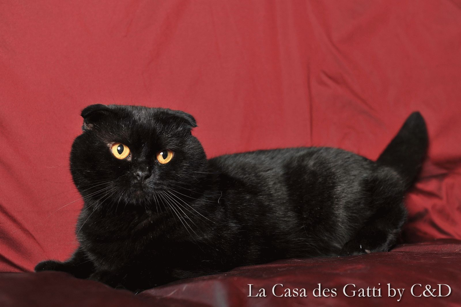 Черная шотландская вислоухая кошка