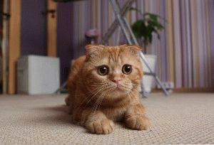Шотландская вислоухая кошка смешное фото