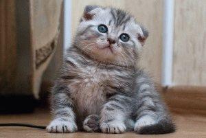 Шотландский вислоухий котёнок фото