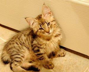 Котенок с кисточками на ушах фото