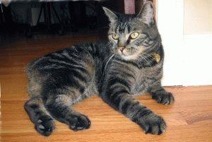 Кот мэнкс фото