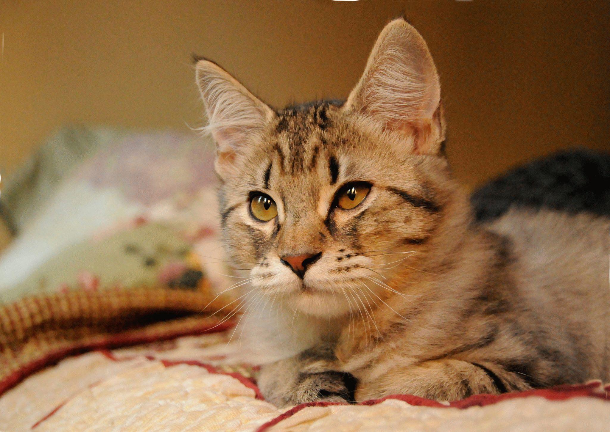 Большой кот кисточками ушах