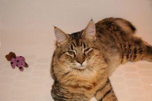 Кошка с кисточками на ушах
