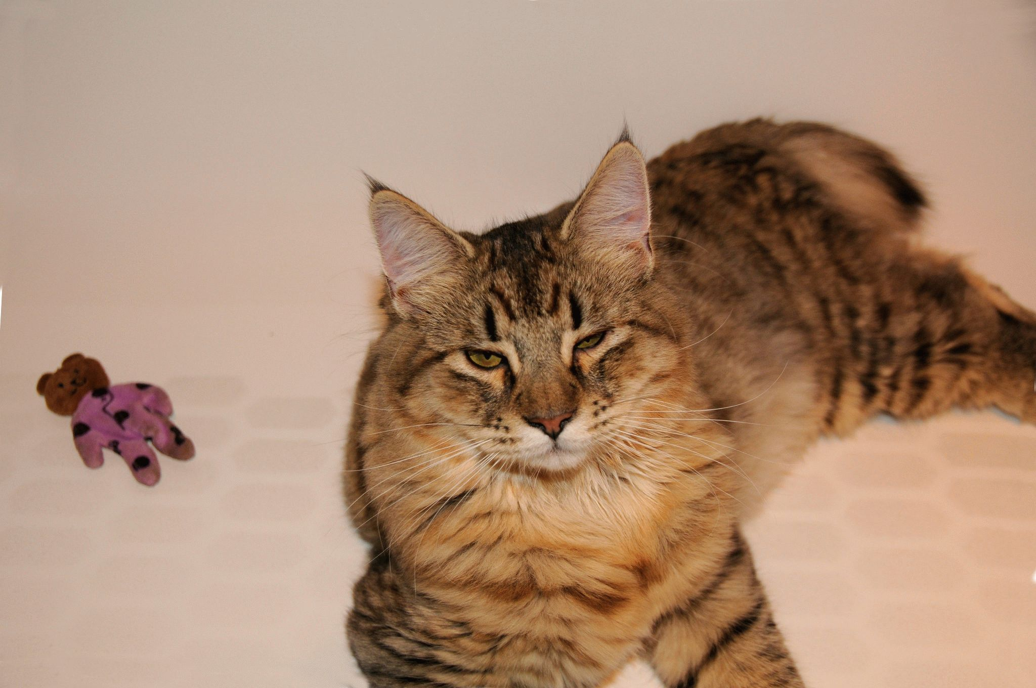 кошки с кисточками на ушах фото днем