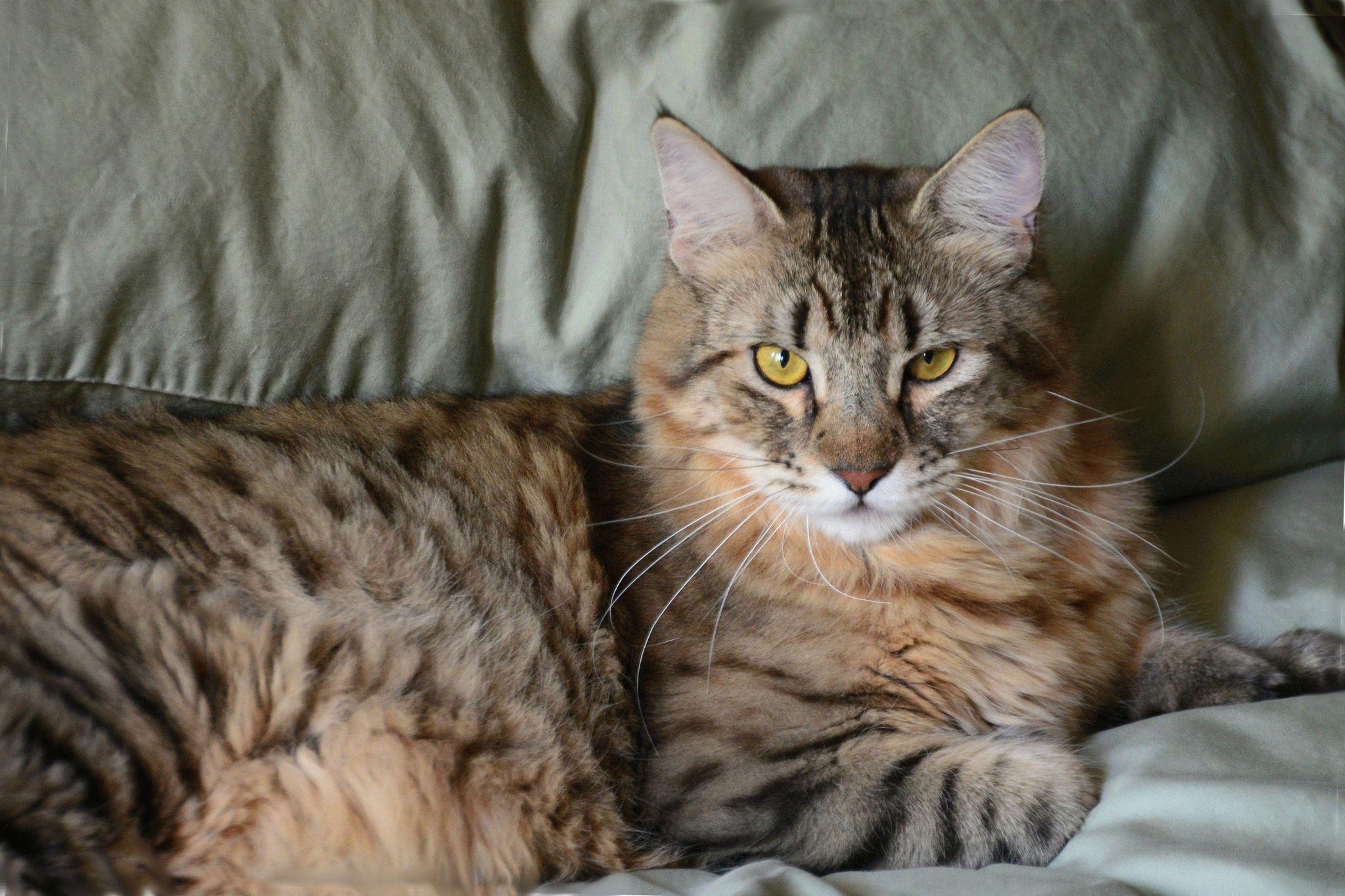 коты с кисточками на ушах фото четко виден